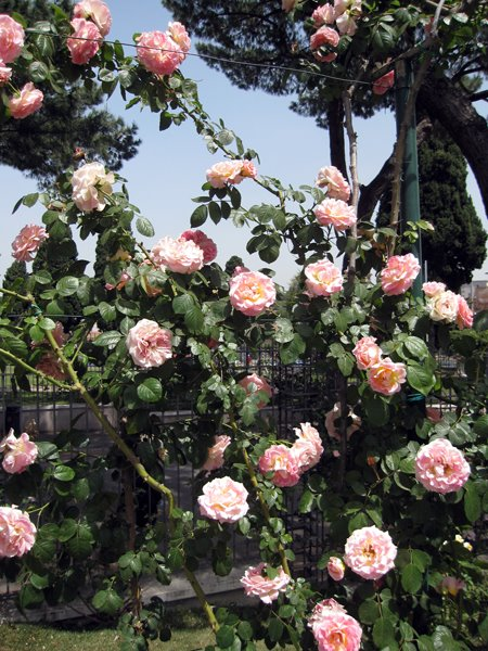 Roses In Garden: Roseto Communale (Municipal Rose Garden)