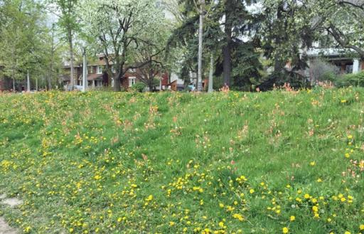 tiny-tulips-1