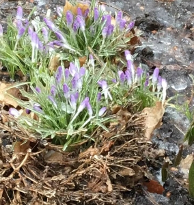 crocus-in-the-winter