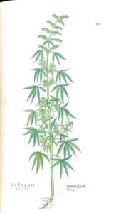 Cannabis sativa via Wellcome Images